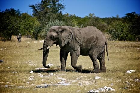 Elefant in der Etosha-Pfanne.